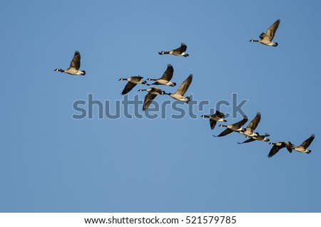 Flock of Canada Geese Flying in a Blue Sky #521579785