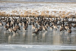 Flock of Canada geese on the lake