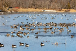 Flock of Canada geese on the river