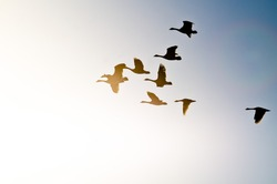 Flock of Canada Geese Silhouetted As They Fly into the Bright Sun