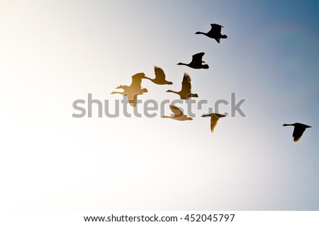 Flock of Canada Geese Silhouetted As They Fly into the Bright Sun #452045797