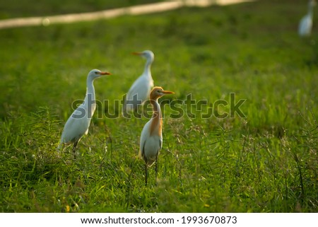 flock of cattle egrets on the lawn