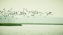 Flock Of Cormorant Shag Birds Flying Over Lake In Winter. Migratory waterfowl fly on their way back to their nesting places, the day about to end in Evening. Rudrasagar Lake Neermahal Agartala Tripura