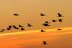 Flock of Cranes flying in the sunset