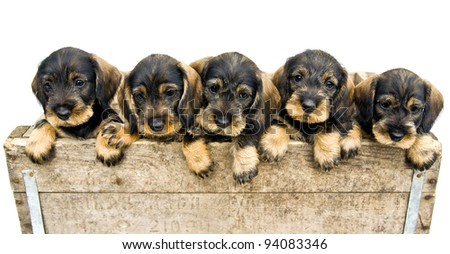 Flock of dachshund puppies in a wood box.