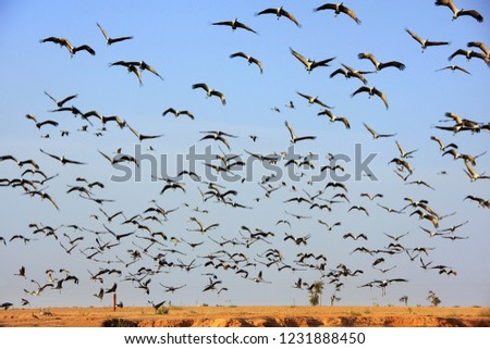 Flock of demoiselle crains flying in blue sky, Khichan village, Rajasthan, India