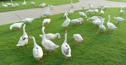 Flock of domestic geese grazing at the countryside on the farm on a green grove. Domestic geese on the green lawn. Geese in the grass, domestic bird, , flock of geese, panoramic view.