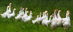 Flock of domestic geese on a green meadow. Summer green rural farm landscape. Geese in the grass, domestic bird, flock of geese, panoramic view