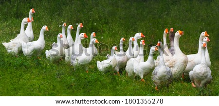 Photo of  Flock of domestic geese on a green meadow. Summer green rural farm landscape. Geese in the grass, domestic bird, flock of geese, panoramic view
