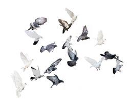 flock of doves isolated on white background