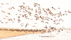 Flock of Doves taking off from a sandy beach in bright daylight friendly mood peaceful