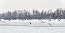 flock of ducks flying over the icy river.