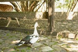 Flock of ducks in a cage, Ducks, white ducks, black ducks, poultry, farm, zoo, wild birds, travel, vacation, village, waterfowl, flock of birds, birds, bird cage, pitching, tourism