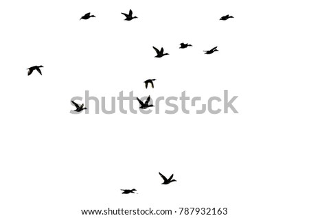 Flock of Ducks Silhouetted on White Background As They Fly #787932163