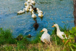 flock of ducks swim away across the lake, couple is waiting