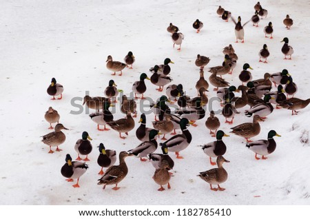 flock of ducks walking through the snow on a frozen pond, a winter frosty day #1182785410