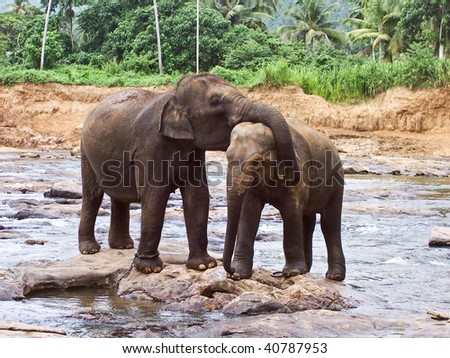 flock of Elephants  in natural surrounding in Sri Lanka near Pinnawella, elephants are tenderly touching each other with trunk