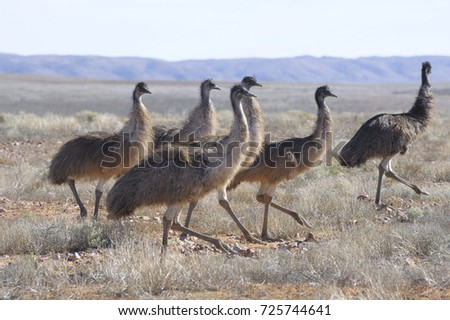 flock of emus in outback Queensland, Australia.