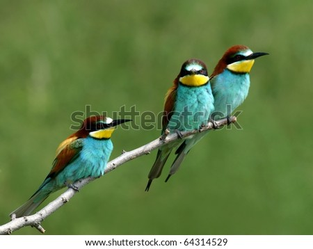 Flock of European bee-eaters alighted on a twig