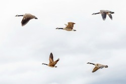 Flock of five large Canadian geese ducks flying against light blue sky with clouds. Canadian nature beauty. Birds flying in sky. Fauna in North America.
