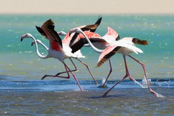 Flock of flamingos taking off from the lagoon to fly away