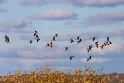 Flock of geese. English name of this goose species is Greater White-fronted Geese
