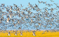 Flock of geese flying in a bright blue sky over wetland in sunlight in winter, Almere, Flevoland, The Netherlands, March 2, 2021