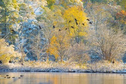 Flock Of Geese Flying over snowing lake in dawn in autumn , Massachusetts, USA
