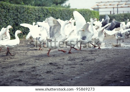 Flock of geese running at rancho