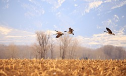 Flock of geese with beautiful landscape in background.