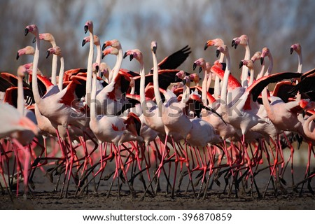 Flock of  Greater Flamingo, Phoenicopterus ruber, Nice pink big bird, dancing in the water, animal in the nature habitat, Camargue, France #396870859