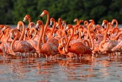 Flock of greater flamingos (Phoenicopterus roseus) in Mexico