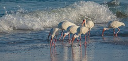 Flock of Ibis Riding Waves on Indian Rocks Beach, Florida