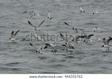 Flock of Laughing Gull (Larus atricilla) #446335762