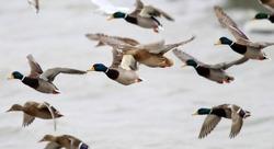 Flock of Mallard Ducks (Anas platyrhynchos) taking off by the river.A group of wild ducks flying above river Danube,in Belgrade,Zemun,Serbia.