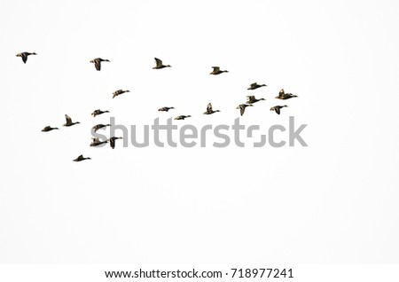 Flock of Mallard Ducks Flying on a White Background #718977241