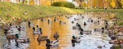 flock of mallard ducks swim on the pond in autumn park.