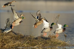 Flock of Mallard Ducks taking off by the river.