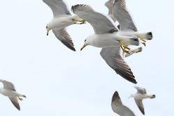 Flock of  Mew gulls