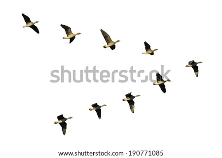 Flock of migrating bean geese flying in v-formation.