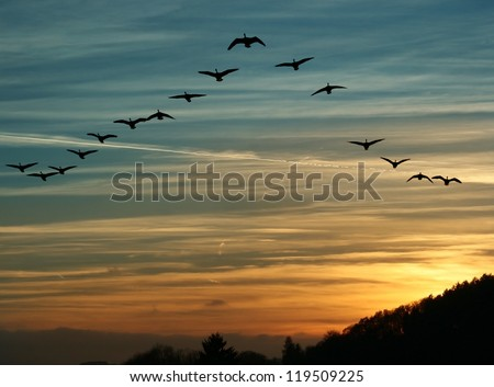 flock of migrating canada geese flying at sunset in a V formation