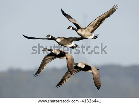 Flock of Migrating Canada Geese in Flight