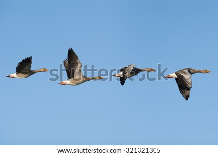 Flock of migrating greylag geese