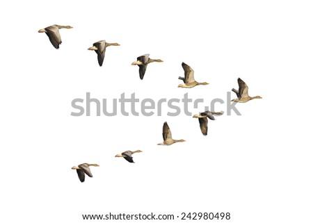 Flock of migrating greylag geese flying in V-formation