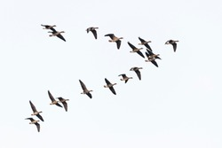 Flock of migration white-fronted geese flying in V-formation, Germany, Europe