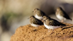 Flock of Nonbreeding Black Turnstone Birds Foraging on Rocky Shores. Rockaway Beach, Pacifica, San Mateo County, CA.