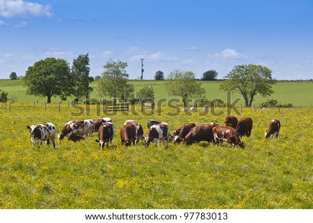 Flock of of cows grazing in a blooming meadow