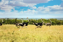 Flock of ostriches run away from predator attack. African savannah. Safari - tour to the famous Kenyan reserve. The concept of exotic, ecological and phototourism