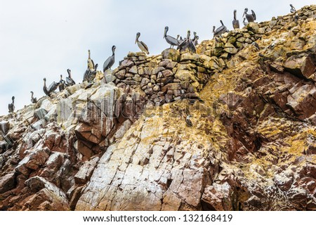 Flock of pelicans, Peru, South America