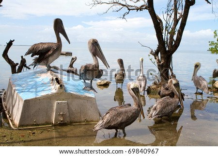 Flock of pelicans wait for fish around an old overturned sailboat in a wildlife sanctuary in the Florida Keys.